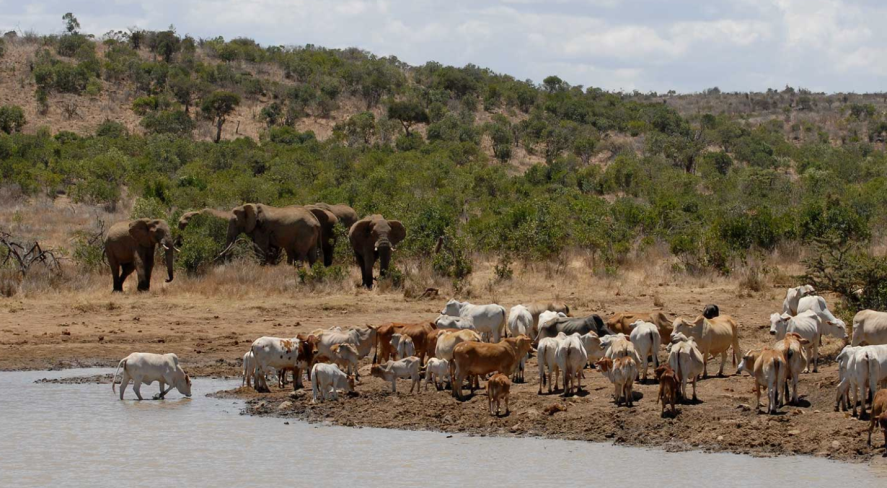 Elephants and cattle on a private ranch in Laikipia County